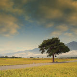 Paddy Rice Field Photographie stock