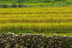 Paddy rice field background with stone wall Stock Photos