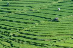 Paddy rice field bali Royalty Free Stock Photo
