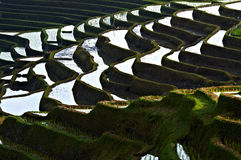 Paddy rice field bali Royalty Free Stock Photography