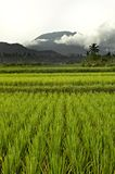Paddy rice field bali Stock Photo