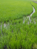 Paddy rice field Royalty Free Stock Photos