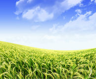 Paddy rice field in blue sky royalty free stock photography