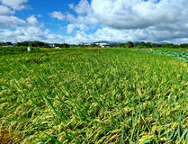 Paddy rice field and blue sky Royalty Free Stock Photography