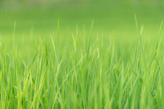 Paddy rice field with blur background Royalty Free Stock Image