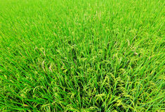 Paddy rice field Stock Images