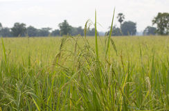 Paddy rice field Royalty Free Stock Image