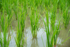 Paddy rice field. Royalty Free Stock Photography