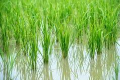 Paddy rice field. Royalty Free Stock Photo
