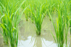 Paddy rice field. Royalty Free Stock Image