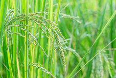 Paddy rice field Royalty Free Stock Photo