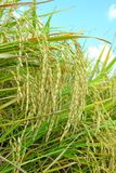 Mature paddy rice. Rice is a staple food of Asia. royalty free stock images
