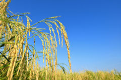 Paddy rice Stock Images