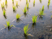 Paddy rice in field Royalty Free Stock Photos