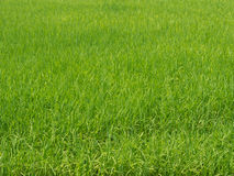 Paddy rice field. Paddy rice on green field Royalty Free Stock Image