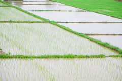 Paddy rice in field, Green Royalty Free Stock Images