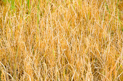 Paddy rice field for harvest Royalty Free Stock Photography