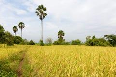 Paddy Rice Field Just Before plockning, jordbruk i Cambodja royaltyfria bilder