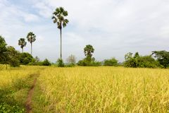 Paddy Rice Field Just Before que colhe, agricultura em Camboja imagens de stock royalty free