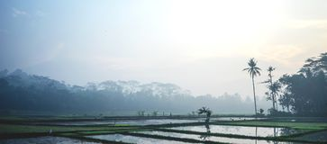 Paddy rice field in Magelang, Central Java_Indonesia stock photo