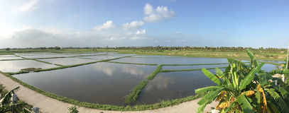 Paddy rice field in Mekong Delta Stock Photos