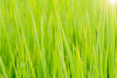 Paddy Rice in the morning Royalty Free Stock Images