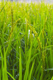 Paddy rice field with  morning dew. Royalty Free Stock Images