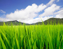 Paddy rice field. Mountain and blue sky Stock Photo