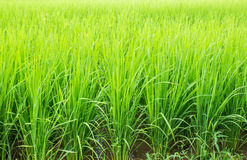 Paddy rice in the field Stock Image