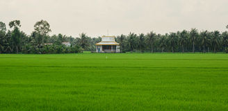 Paddy rice field in southern Vietnam Royalty Free Stock Photography