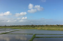 Paddy rice field in southern Vietnam Royalty Free Stock Image