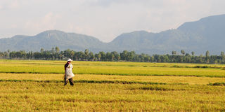 Paddy rice field in southern Vietnam Royalty Free Stock Photos