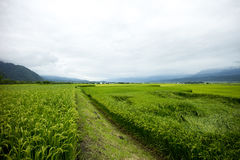 Paddy Rice Field Taiwan Royalty Free Stock Photos