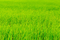 Paddy rice Royalty Free Stock Image