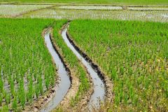 Paddy rice in the field. Stock Images