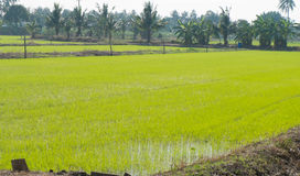 Paddy rice field. In thailand Stock Photo