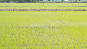 Paddy rice field in thailand. Background Royalty Free Stock Photos