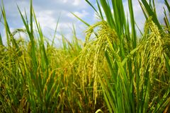 Paddy rice field in Thailand royalty free stock photography