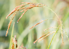 Paddy rice in field, Thailand. Paddy rice in field on sunrise, Thailand Stock Photos