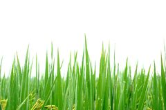 Paddy rice field with water drops. Stock Photo