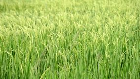 Paddy rice field stock video
