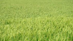Paddy rice field stock footage