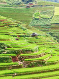 Paddy rice fields stock image