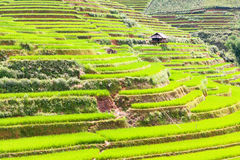 Paddy rice fields stock images