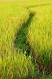 Paddy Rice Fields Stock Photo