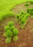 Paddy Rice Fields Stock Photos