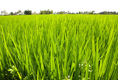 Paddy Rice Fields. Stock Photos