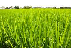 Paddy Rice Fields. Stock Photos