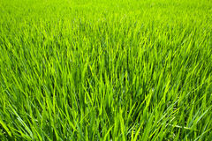 Paddy Rice Fields. Stock Photography