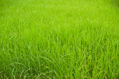 Paddy Rice Fields Photographie stock